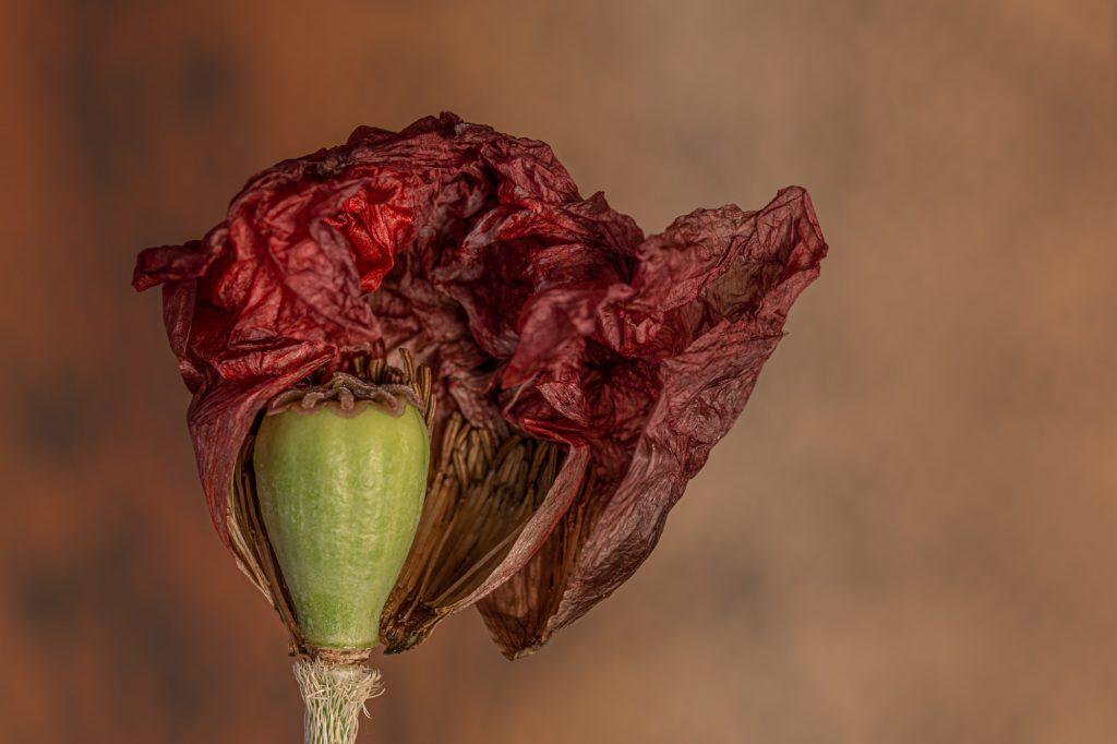 Makroaufnahme einer welkenden Blüte